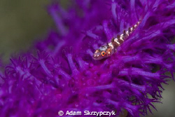 Goby on purple coral by Adam Skrzypczyk 